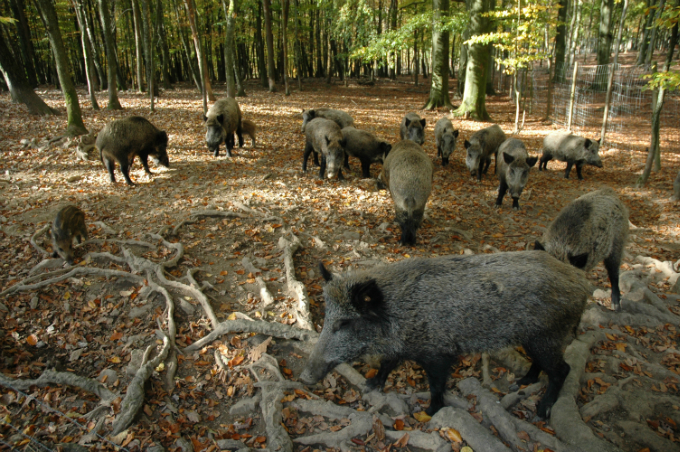 a family of wild boar